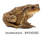 Common Toad  Bufo Bufo  In...