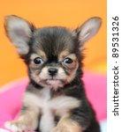 Stock photo cute black chihuahua 89531326
