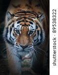 Siberian Tiger Face Very Close...