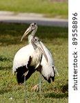 Wood Storks In Florida