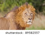 male lion  leo panthera  at the ... | Shutterstock . vector #89582557