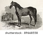 Norman Horse In 1830  Old...