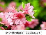 Blooming Pink Rhododendron ...