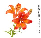 Tiger Lily Isolated On White...