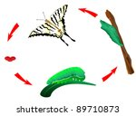 Butterfly habits life cycle. vector. From caterpillar to butterfly. Metamorphosis. Scarce Swallowtail, Iphiclides podalirius