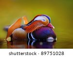 Mandarin Duck Floating And Cal...