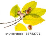 Small photo of The branch of wild American persimmon (Diospyros virginiana) with ripe fruit on a white background