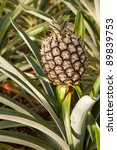 Pineapple growing at the farm at Faja ?? Baixo, Azores - stock photo