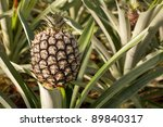 Fresh pineapple growing at the farm at Faja de Baixo, Azores - stock photo