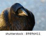 Small photo of Wild Raven, Banff National Park Alberta Canada