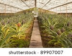 Fresh pineapples growing into glasshouse at farm near Faja de  Baixo, Azores - stock photo