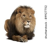 Lion  Panthera Leo  8 Years Old ...