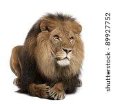 Lion  Panthera Leo  8 Years Ol...