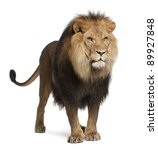 Stock photo lion panthera leo years old standing in front of white background 89927848