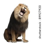 Stock photo lion panthera leo years old roaring in front of white background 89927920