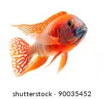 Red Cichlid Fish  Ruby Red...