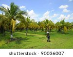 Coconut Plantation And Worker...