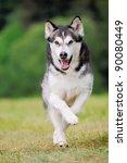 Stock photo alaskan malamute runs 90080449