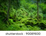 Dense Evergreen Forest On The...