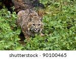 Bobcat Lying In Wait