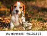 Stock photo seated beagle puppy dog plays with bough picture made in vintage style 90101596