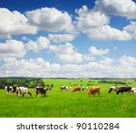 Cows Grazing On A Green Summer...