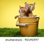 Stock photo kitten abyssinian age month 90190597