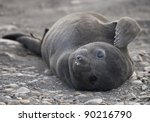 Young Southern Elephant Seal ...