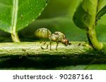 Physic name is Oecophylla smaragdina Fabriciu in green nature - stock photo