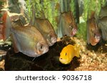 Yellow Cichlid Surrounded By...