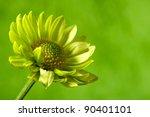 Chrysantemum Flower Over Green...