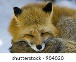 red fox macro | Shutterstock . vector #904020