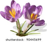 Two Purple Vector Crocuses