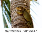A Green Iguana Watching The...