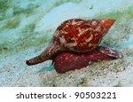 True Tulip Snail  Fasciolaria...