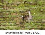 moorhen chick | Shutterstock . vector #90521722