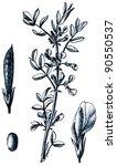 horse bean  broad bean  fava... | Shutterstock . vector #90550537
