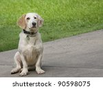 Cute hound dog sitting on the pavement - stock photo