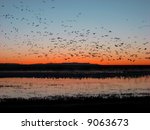 Snow Geese Taking Off For Thei...