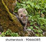 Bobcat Kitten Stalking Its Prey
