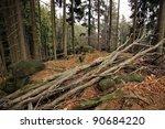 Storm damaged beech tree fell. Very windy weather - stock photo