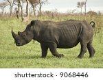 White Rhinoceros In Africa Bus...