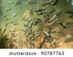 fishes swimming in a pond ... | Shutterstock . vector #90787763