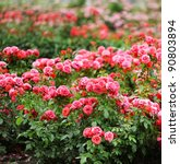 Stock photo beautiful roses garden 90803894
