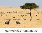 Plains Zebras  Equus Quagga ...
