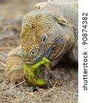 Galapagos Land Iguana Eating...