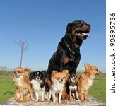 Stock photo portrait of a cute purebred chihuahuas and rottweiler 90895736