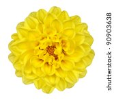 Dahlia Flower - Yellow Petals with Yellow Center Isolated on White Background - stock photo