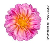 Dahlia Flower with Pink White Petals and Yellow Center Isolated on White Background - stock photo