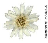 White Cornflower Like Flower Isolated on White Background - stock photo